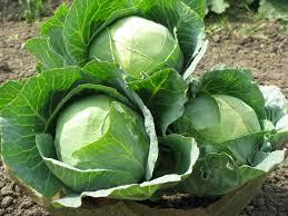 Benefits of Cabbage...