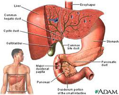 gall bladder in hindi means