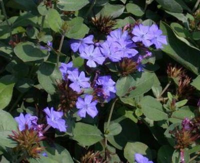 Benefits of Leadwort