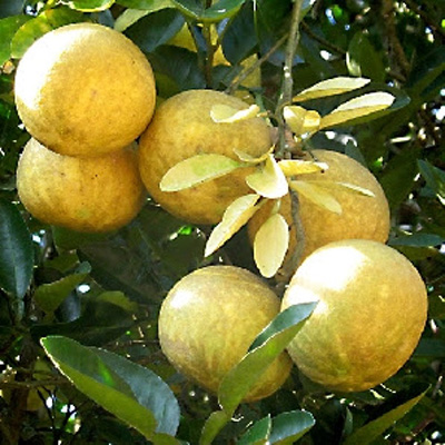 Benefits of Bael Fruit