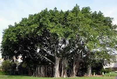 Benefits of Banyan