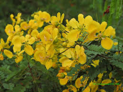 Benefits of Cassia