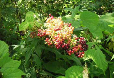 Benefits of Indian Spikenard