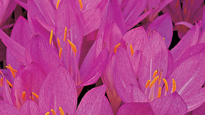 Benefits of Colchicum