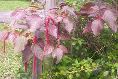 Benefits of Indian Acalypha